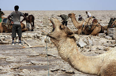 Camel Photograph - The Afar People And Their Camels by Aidan Moran