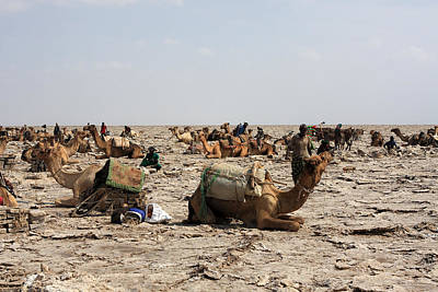 Camel Photograph - The Afar Salt Miners, Ethiopia by Aidan Moran