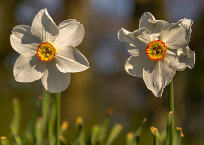 Daffodils Photograph - The Ageing Process by Chris Fletcher