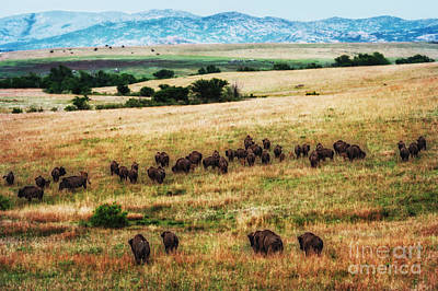 Photograph - The American Bison Herd by Tamyra Ayles