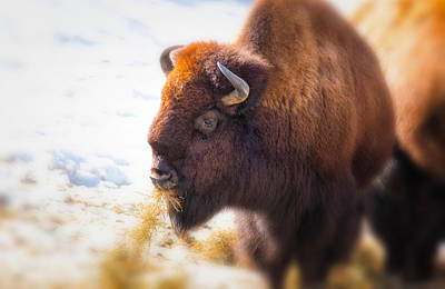 The American Bison Print by Karol Livote