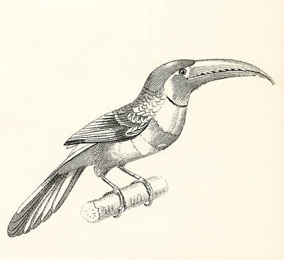 Toucan Drawing - The Aracari Or Ara by Vintage Design Pics