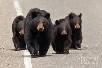 Bear Photograph - The Bears Are Coming by Natural Focal Point Photography