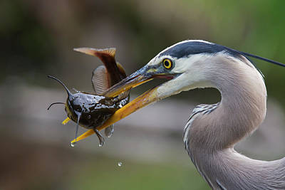 Great Heron Photograph - The Big Catch by Mircea Costina Photography