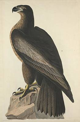 The Bird Of Washington Or Great American Eagle Print by John James Audubon