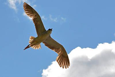 The Black-crowned Night-heron Like An Angel In The Sky Print by Asbed Iskedjian