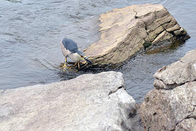 The Black-crowned Night-heron With His Catch Print by Asbed Iskedjian