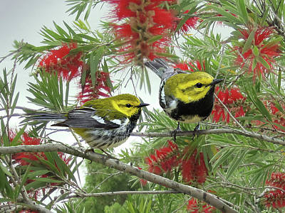 Warbler Digital Art - The Black-throated Green Warbler by Matthew Schwart