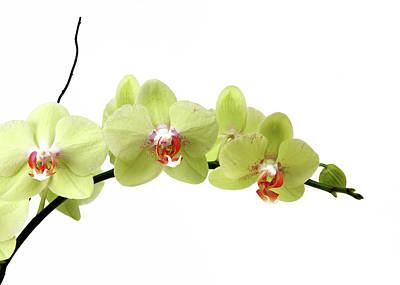 Moth Orchid Photograph - The Branch Of A Flowering Orchid by Nicholas Eveleigh