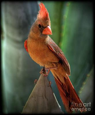Cardinals. Wildlife. Nature Photograph - The Cardinal  by Saija  Lehtonen