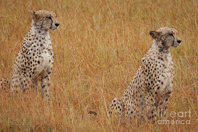 Cheetah Photograph - The Cheetahs by Stephen Smith