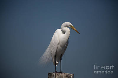 Perch Photograph - The Classic Snowy Egret By Darrell Hutto by J Darrell Hutto