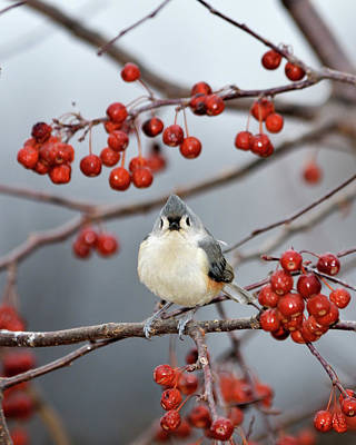 Tufted Titmouse Photograph - The Color Red by Betty LaRue
