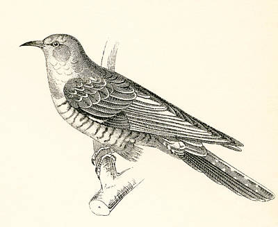 Cuckoo Drawing - The Common Cuckoo, Cuculus Canorus by Vintage Design Pics