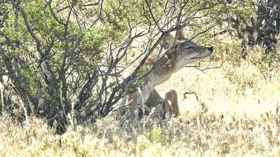 The Coyote Scratching Print by Casey Butler