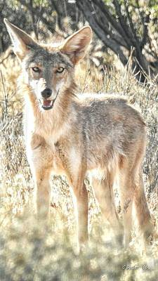 The Coyote Looks At The Camera Print by Casey Butler