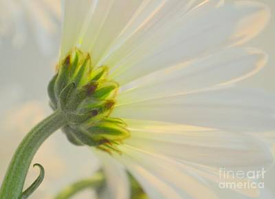 The Delicate Daisy Print by Mary Deal