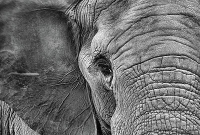 The Elephant In Black And White Print by JC Findley