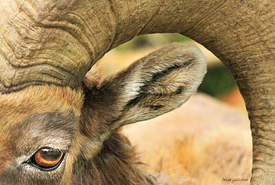 Herding Dog Photograph - The Eye Of The Bighorn by Brian Gustafson