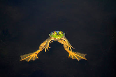 Bullfrogs Photograph - The Floater by Donna Kennedy