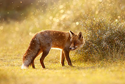 Bokeh Photograph - The Fox And The Fairy Dust by Roeselien Raimond