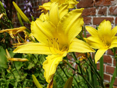 The Garden Yellow Lily Print by Mike McGlothlen