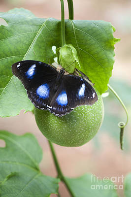 Passionflower Photograph - The Great Eggfly Butterfly by Tim Gainey
