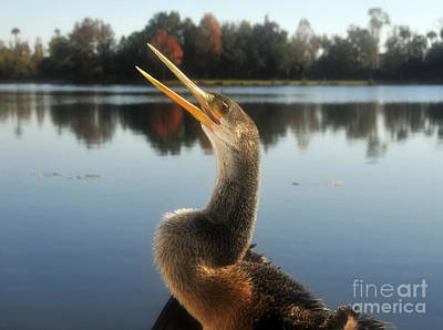 The Great Golden Crested Anhinga Print by David Lee Thompson