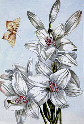 Moth Drawing - The Great White Lily by Pierre-Joseph Buchoz