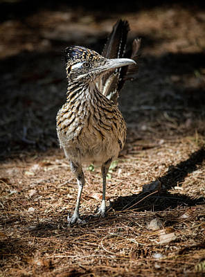 Roadrunner Photograph - The Greater Roadrunner Walk  by Saija Lehtonen