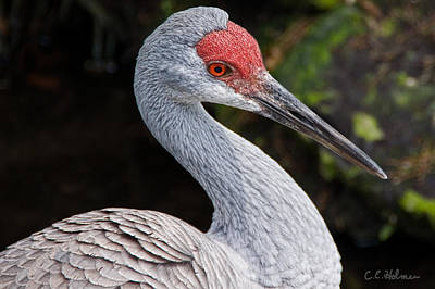 The Greater Sandhill Crane Print by Christopher Holmes