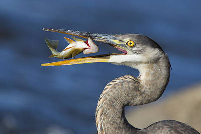 Great Heron Photograph - The Heron And The Perch by Mircea Costina Photography