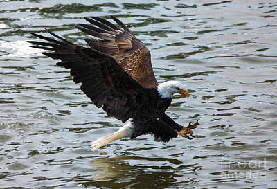 American Bald Eagle Photograph - The Hook by Mike Dawson