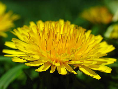 The Humbled Dandelion Print by Juergen Roth