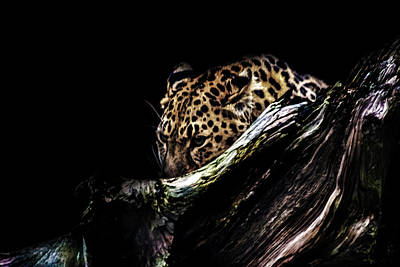 Leopard Photograph - The Hunt by Martin Newman