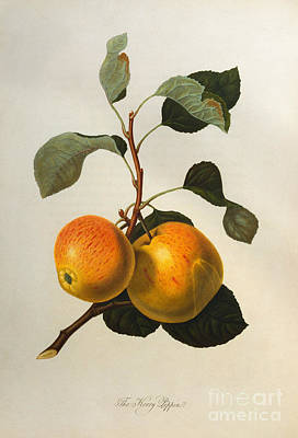 Still Life Painting - The Kerry Pippin by William Hooker