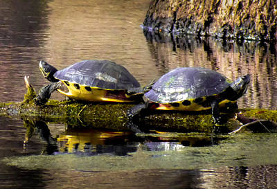 Pond Turtle Photograph - The Kick Off by Karen Wiles