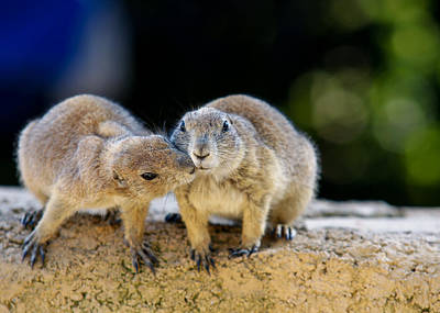 Groundhog Photograph - The Kiss by Edward Myers