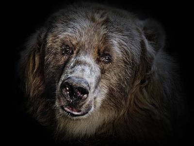 The Kodiak Bear Print by Animus Photography