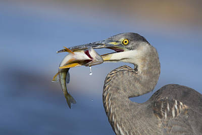Great Heron Photograph - The Last Drop by Mircea Costina Photography