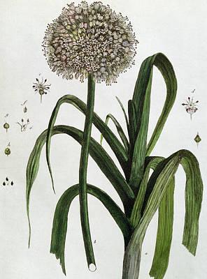 The Leek Print by Nicolas Francois Regnault