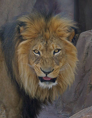 The Lion Dry Brushed Print by Ernie Echols