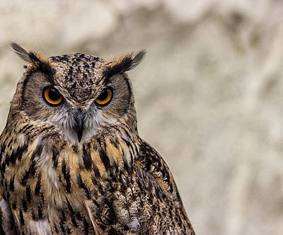 The Look Of An Owl Print by Martin Newman