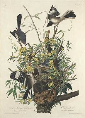 Mockingbird Drawing - The Mockingbird by John James Audubon
