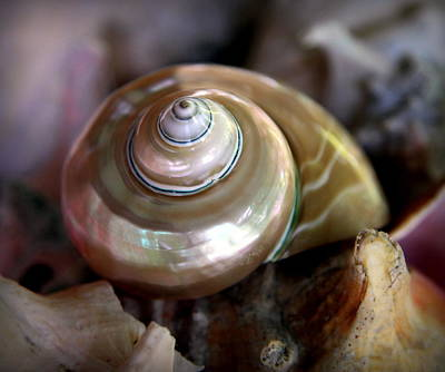 Abalone Photograph - The Oceans Jewel by Karen Wiles