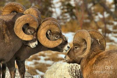 Bighorn Ram Photograph - The Odd Man Out by Adam Jewell
