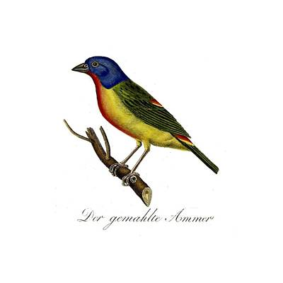 The Painted Bunting Print by Unknown