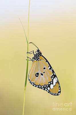The Plain Tiger Butterfly  Print by Tim Gainey