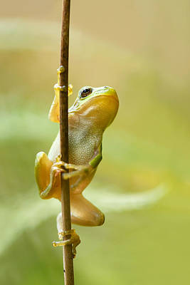Amphibians Photograph - The Pole Dancer - Climbing Tree Frog  by Roeselien Raimond