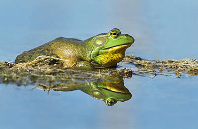 Bullfrog Photograph - The Pond King by Mircea Costina Photography